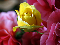 rosas_gabe_2S.jpg
