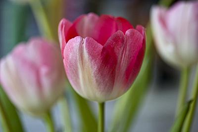 roux-tulipasrosas_2S.jpg