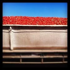 colheita tomate