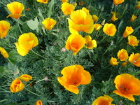 californiapoppies2.JPG