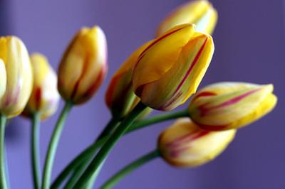 tulipas_listradas_4s.jpg