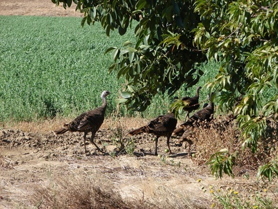 wildturkeys.jpg